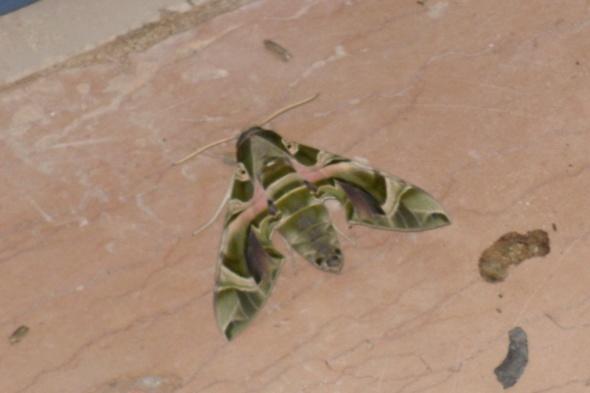 hiigelsuur ja kole liblikas
